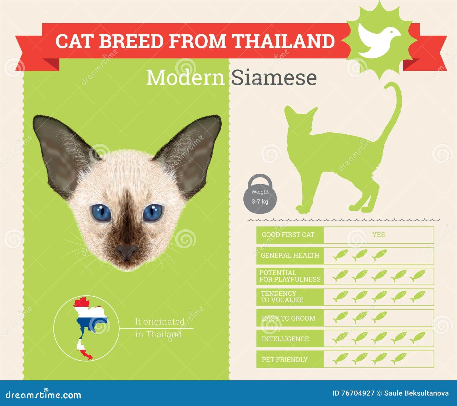 Infographics moderne de race de chat siamois