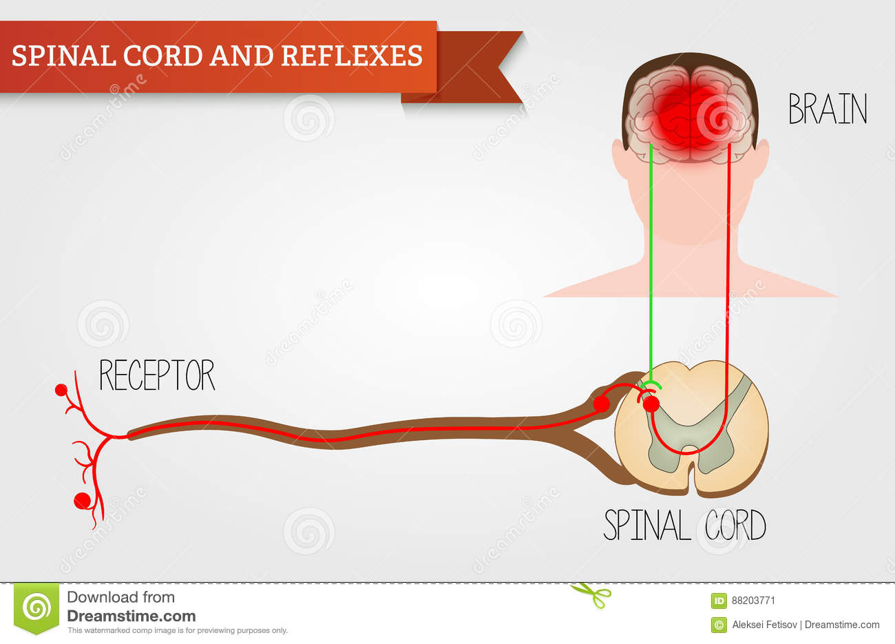 Infographics Spinal Cord And Reflexes Central Nervous System H