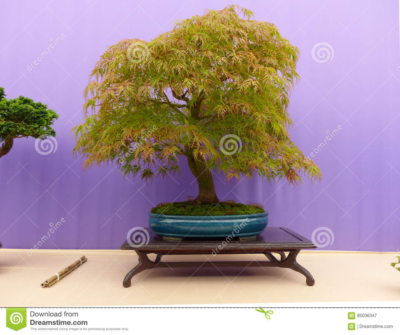 An Informal Upright Acer Dissectum Bonsai On Show In Belfast Northern Ireland Editorial Photography Image Of Mahogany Belfast 85036347