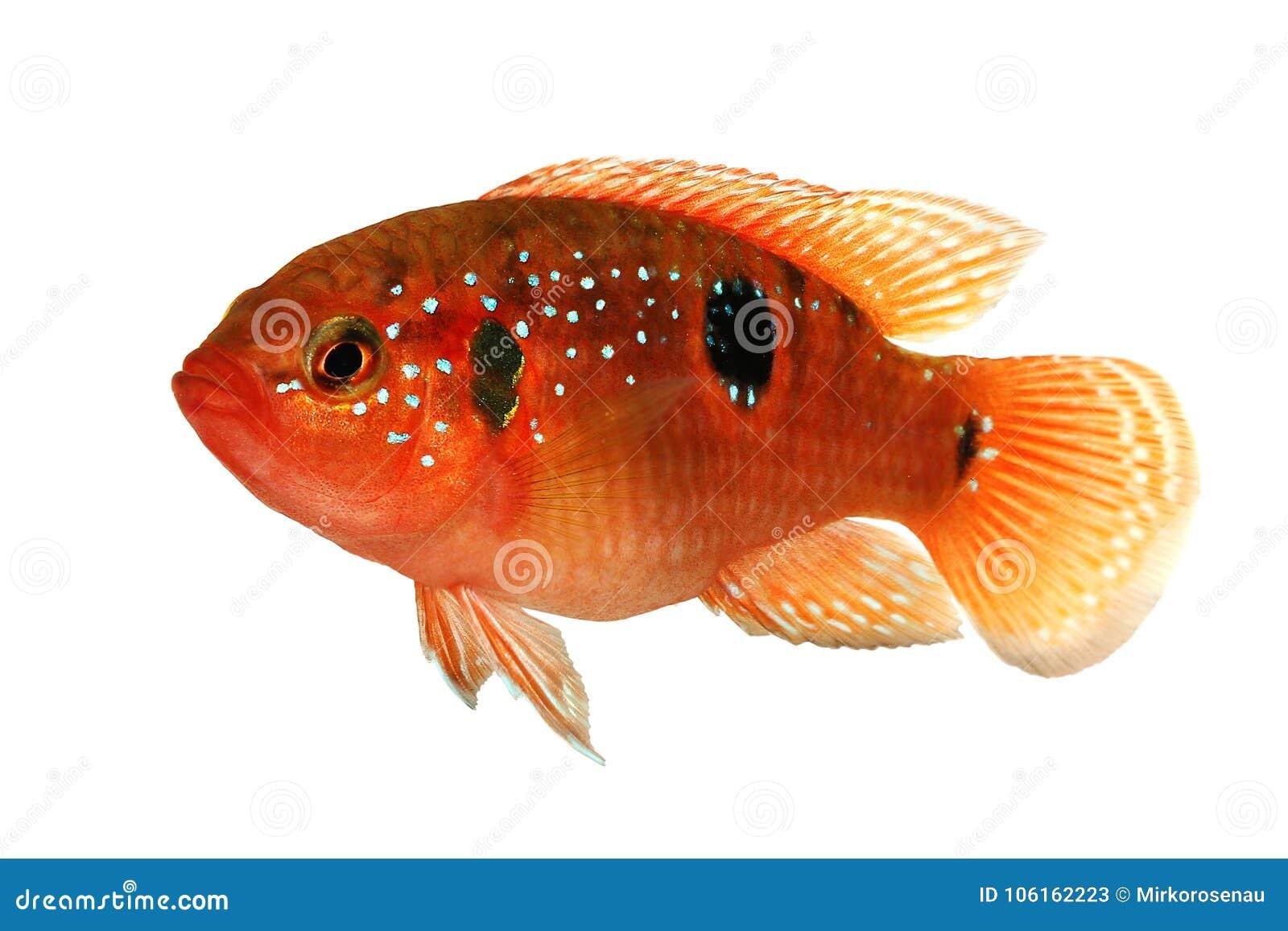Information File Name: Jewel Cichlid Hemichromis Bimaculatus ...
