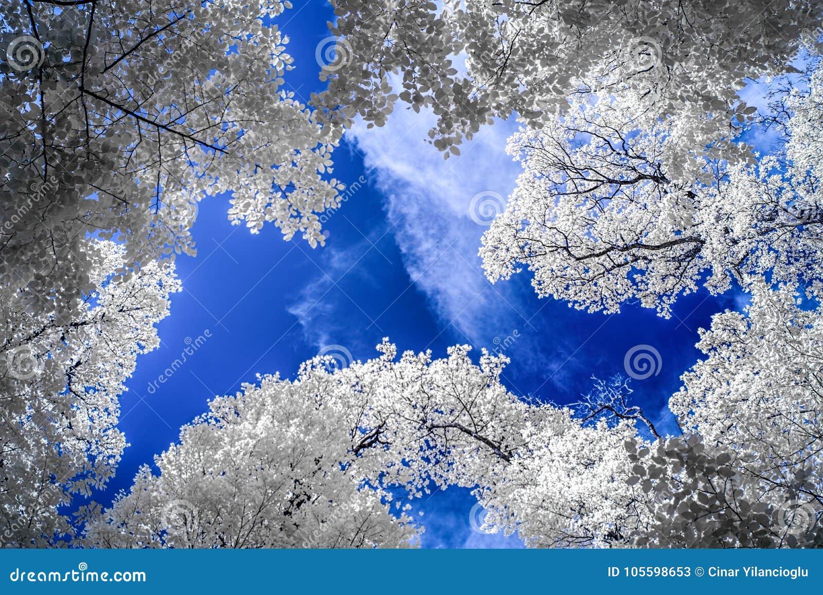 Infrarode mening van lange bomen onder blauwe hemel met witte wolken