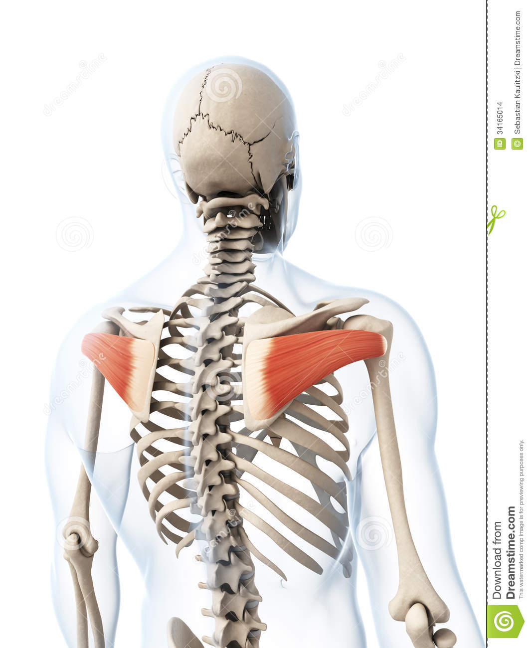 The Infraspinatus Muscle Stock Images - Image: 34165014