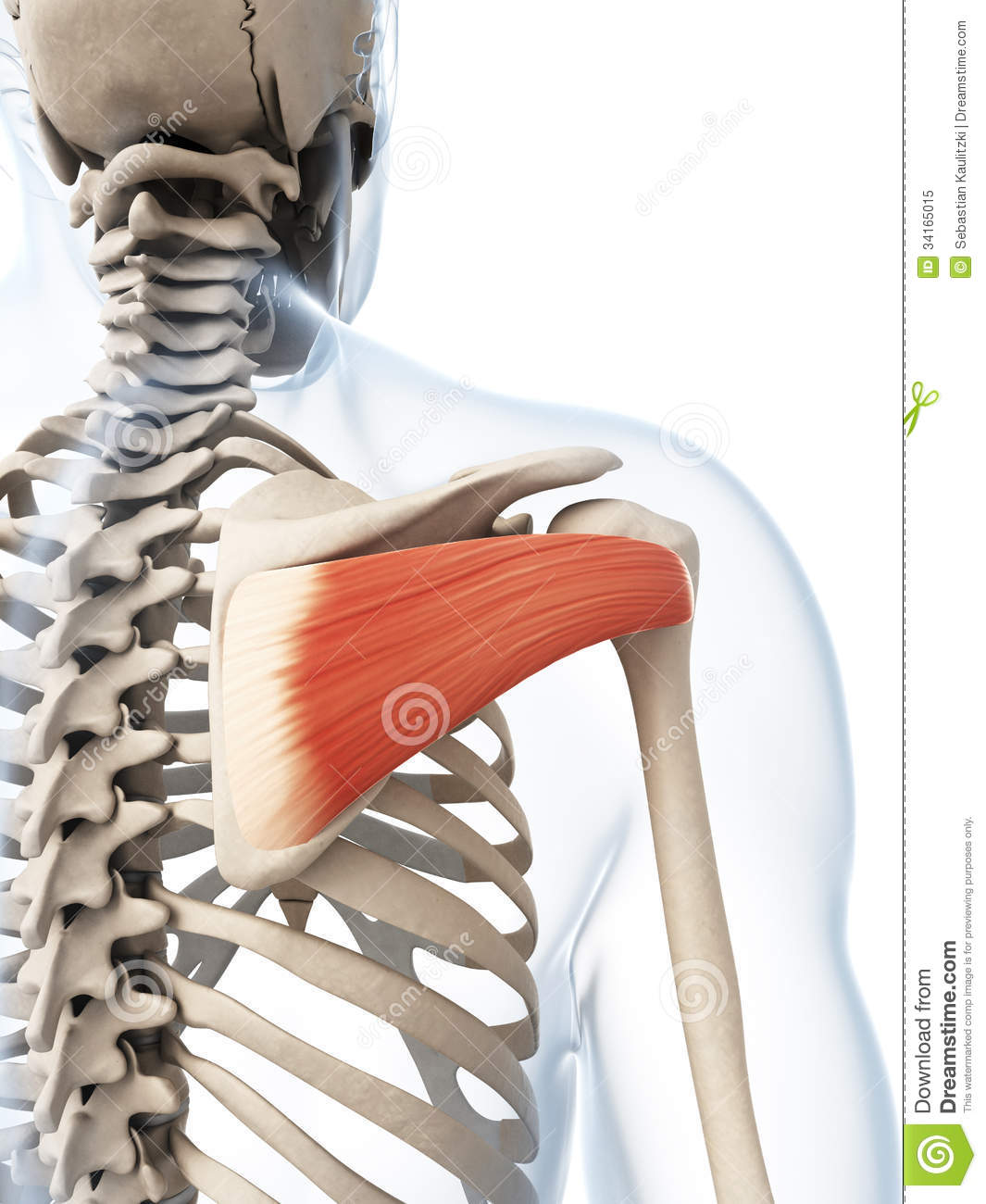 The Infraspinatus Muscle Royalty Free Stock Photo - Image: 34165015