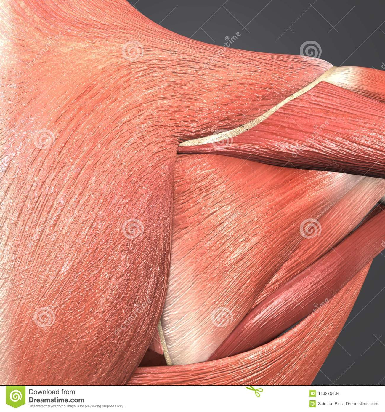 Infraspinatus Trapezius And Deltoid Muscle Stock Illustration