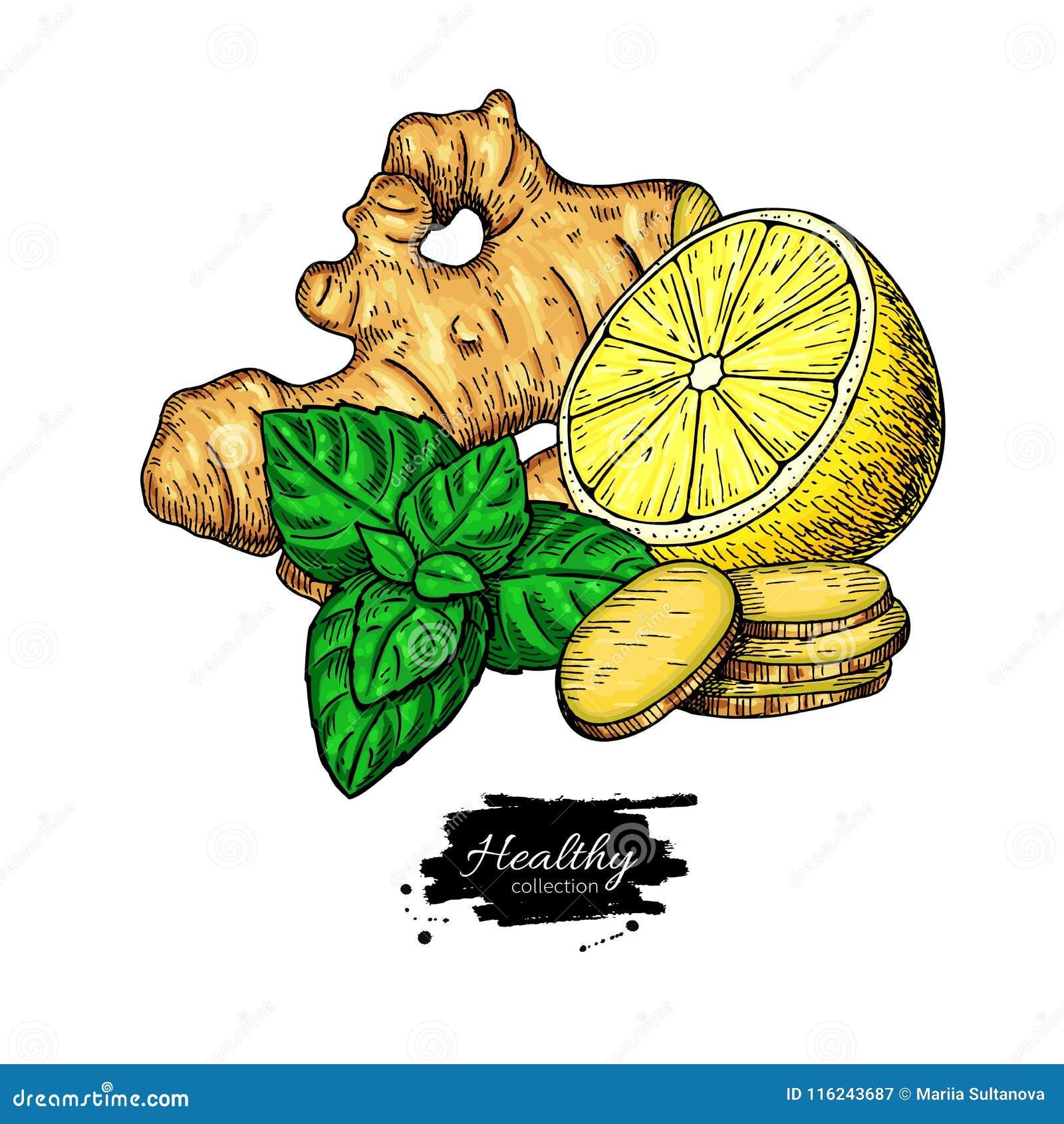 Ingefära-, citron- och mintkaramellvektorteckning Rota hearbbladet, och fruktskivan skissar