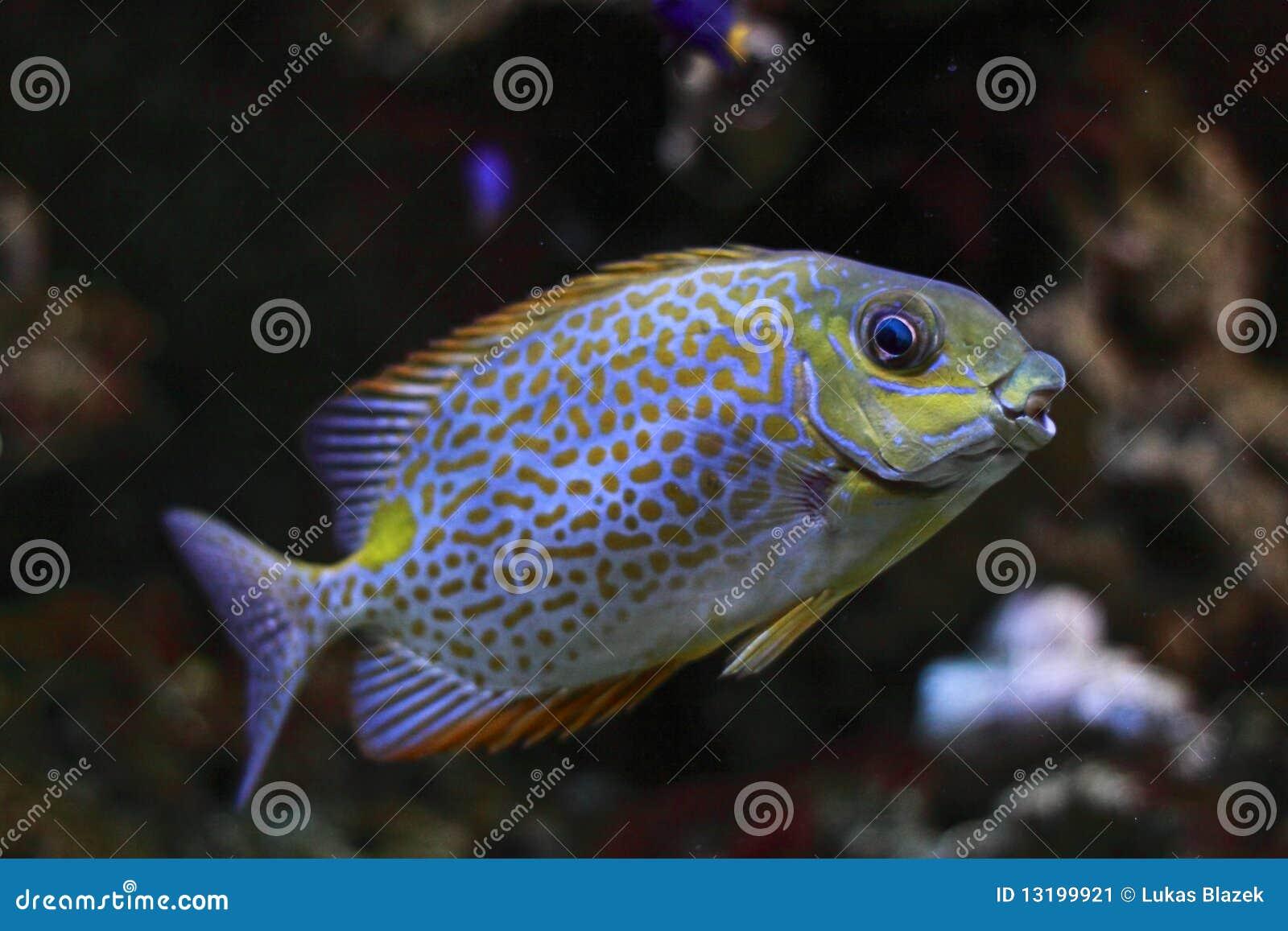 Ingiallisca il Rabbitfish della macchia