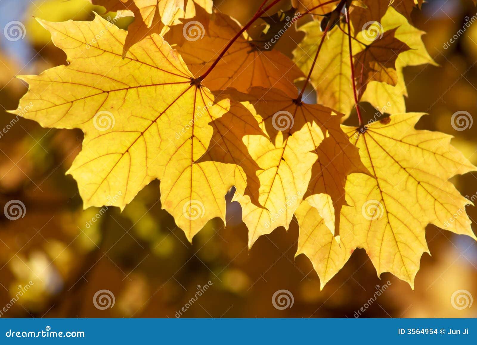 Ingiallisca le foglie di acero