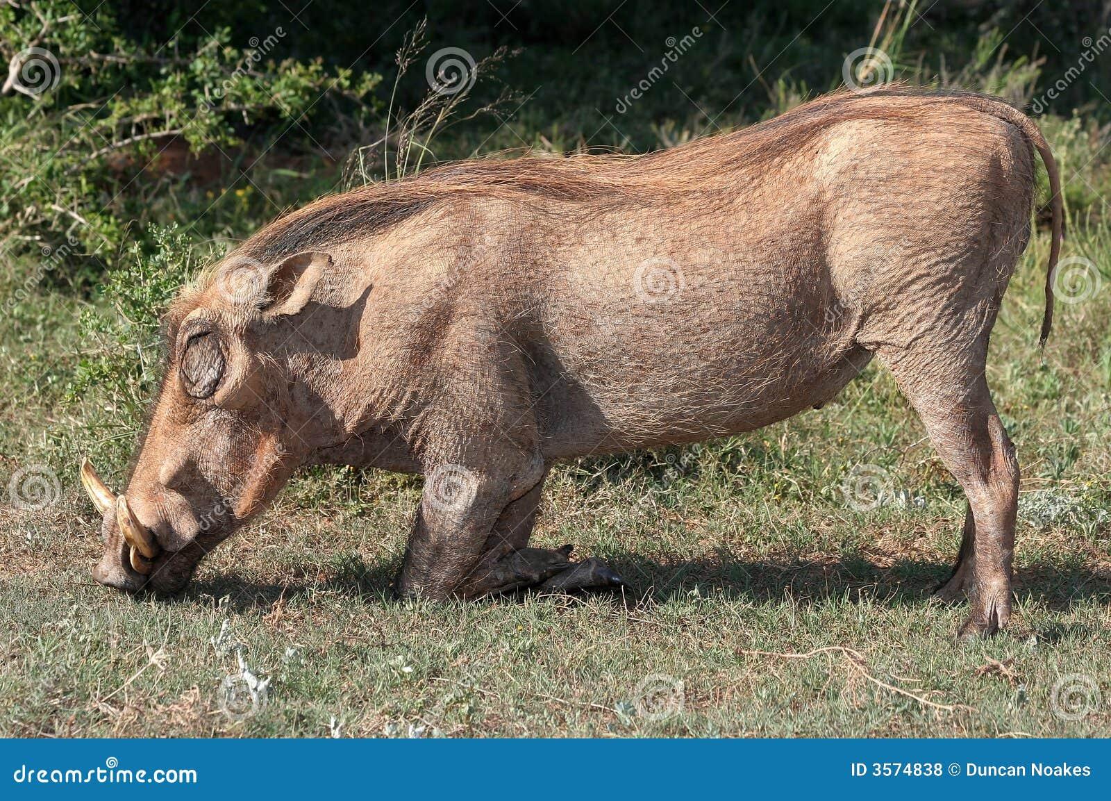 Inginocchiamento brutto di Warthog