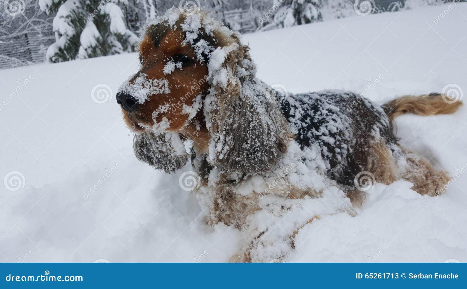 Inglés cocker spaniel en nieve
