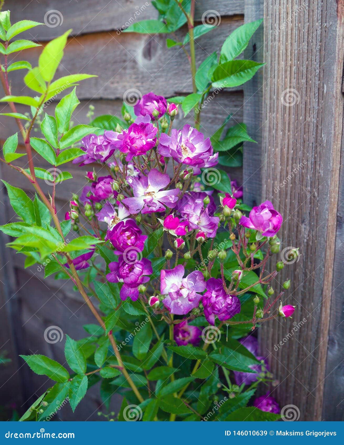 Inglês branco roxo de florescência Rosa Veilchenblau Climbing Rose Bush