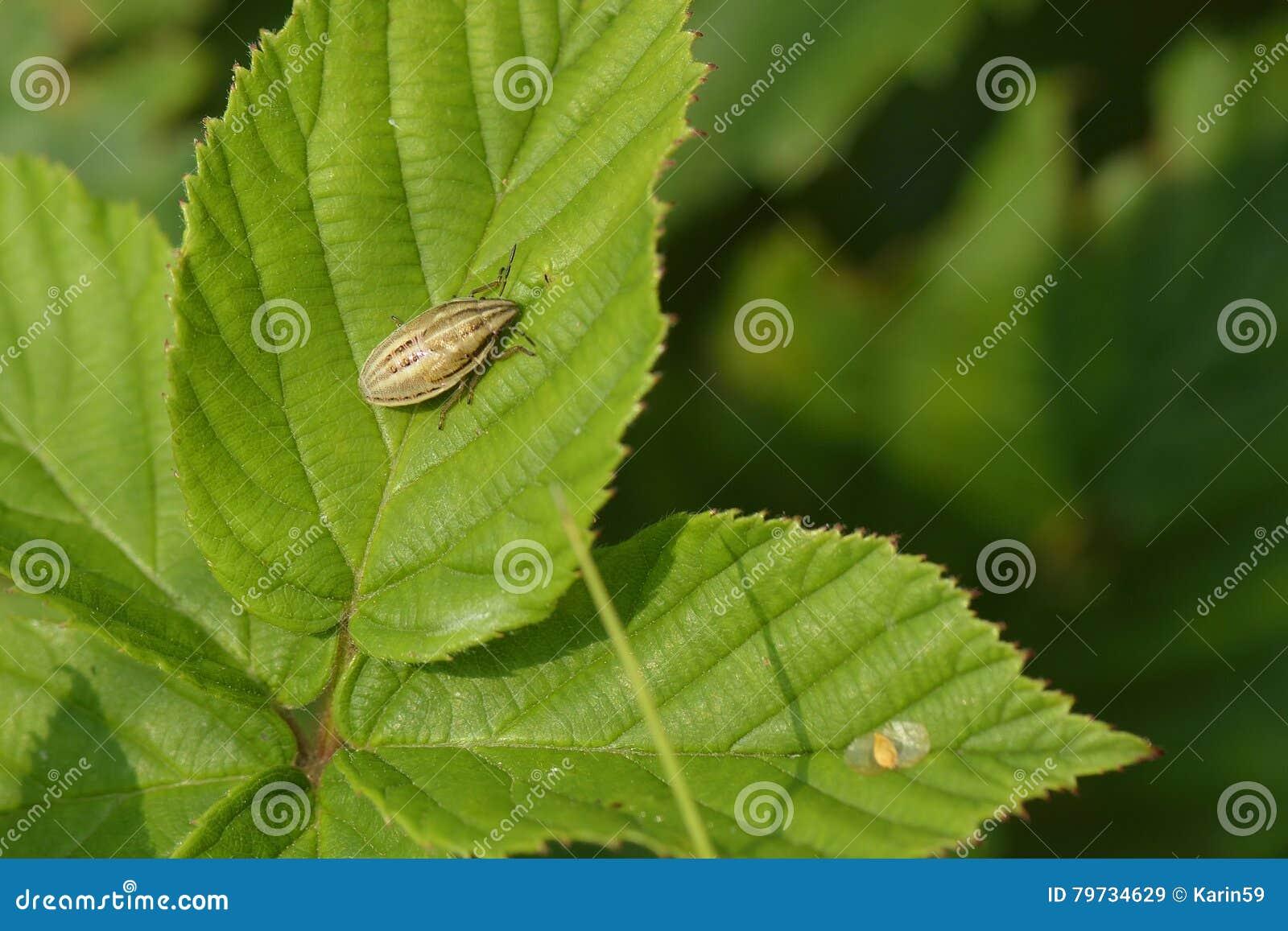 Inglete Shieldbug de los obispos