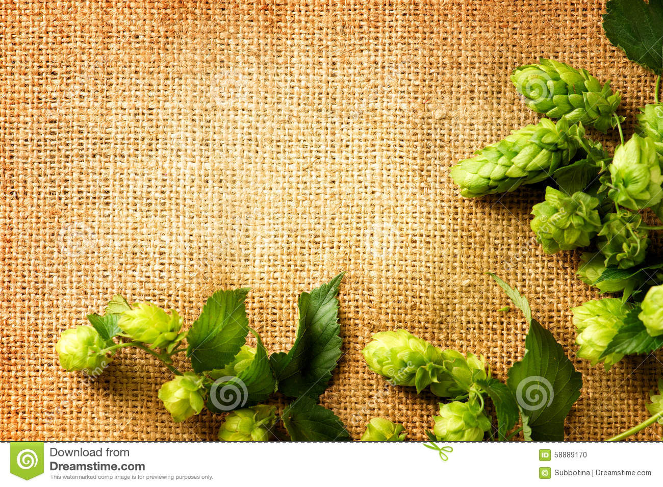 ingredients for brewing beer  fresh hop on burlap close up