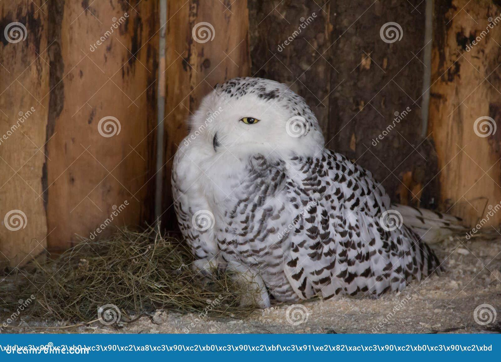 Polar Owl in captivity, polar owl in the zoo
