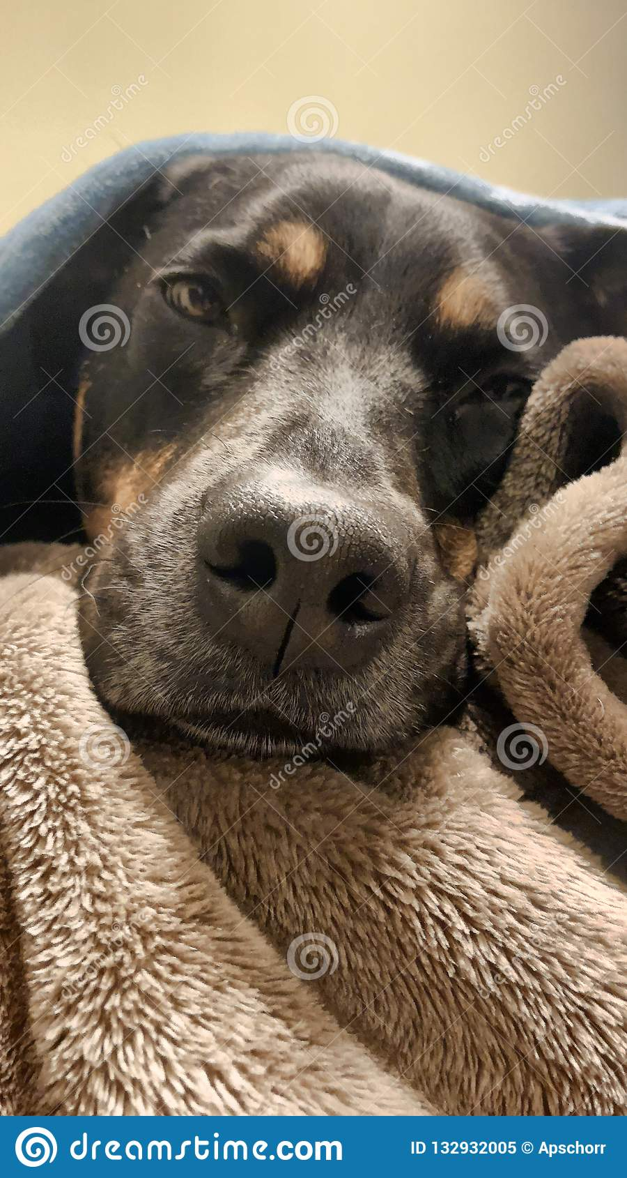 Inhalt Rottweiler unter Decken