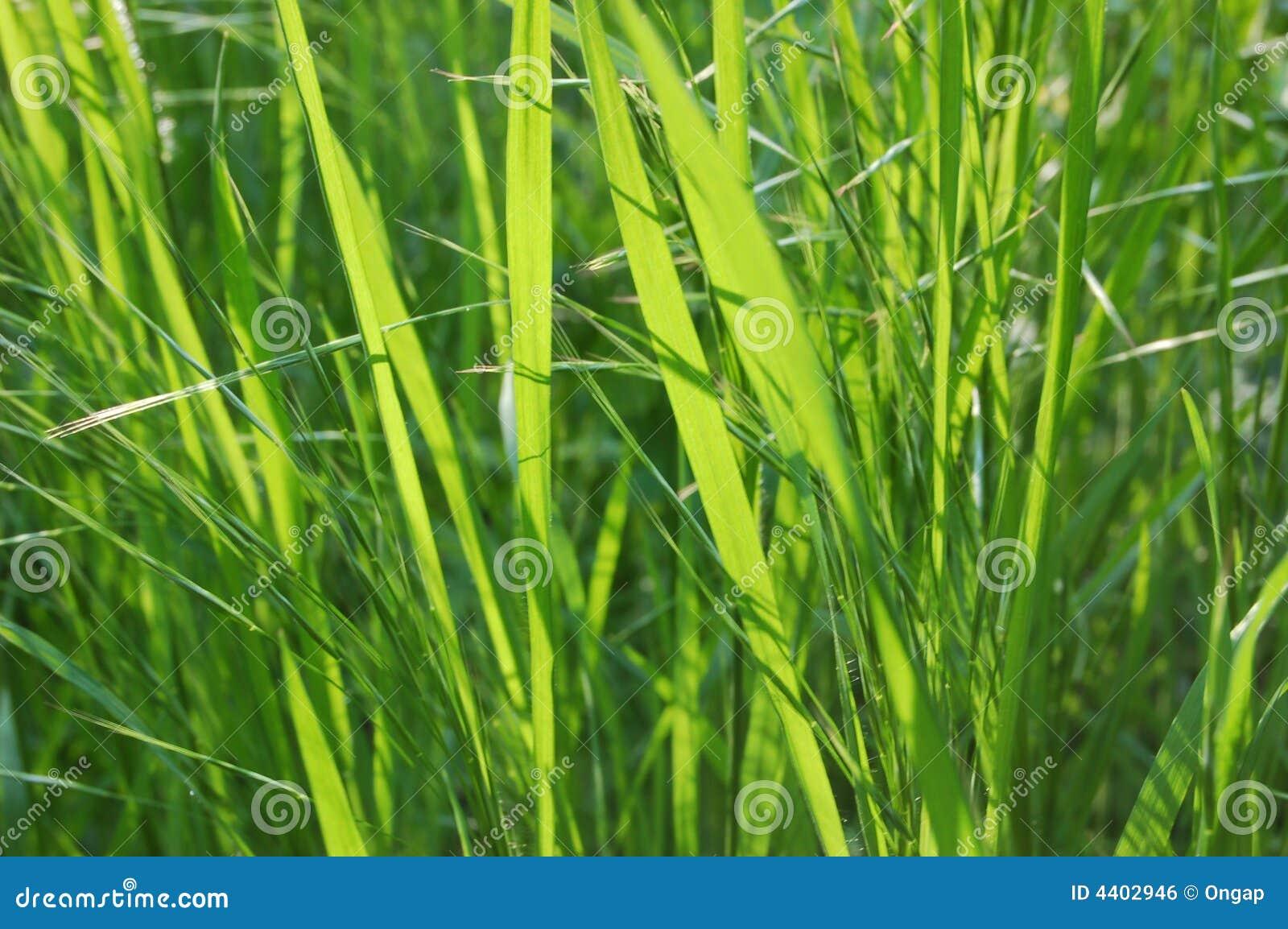 Inheems-grassen