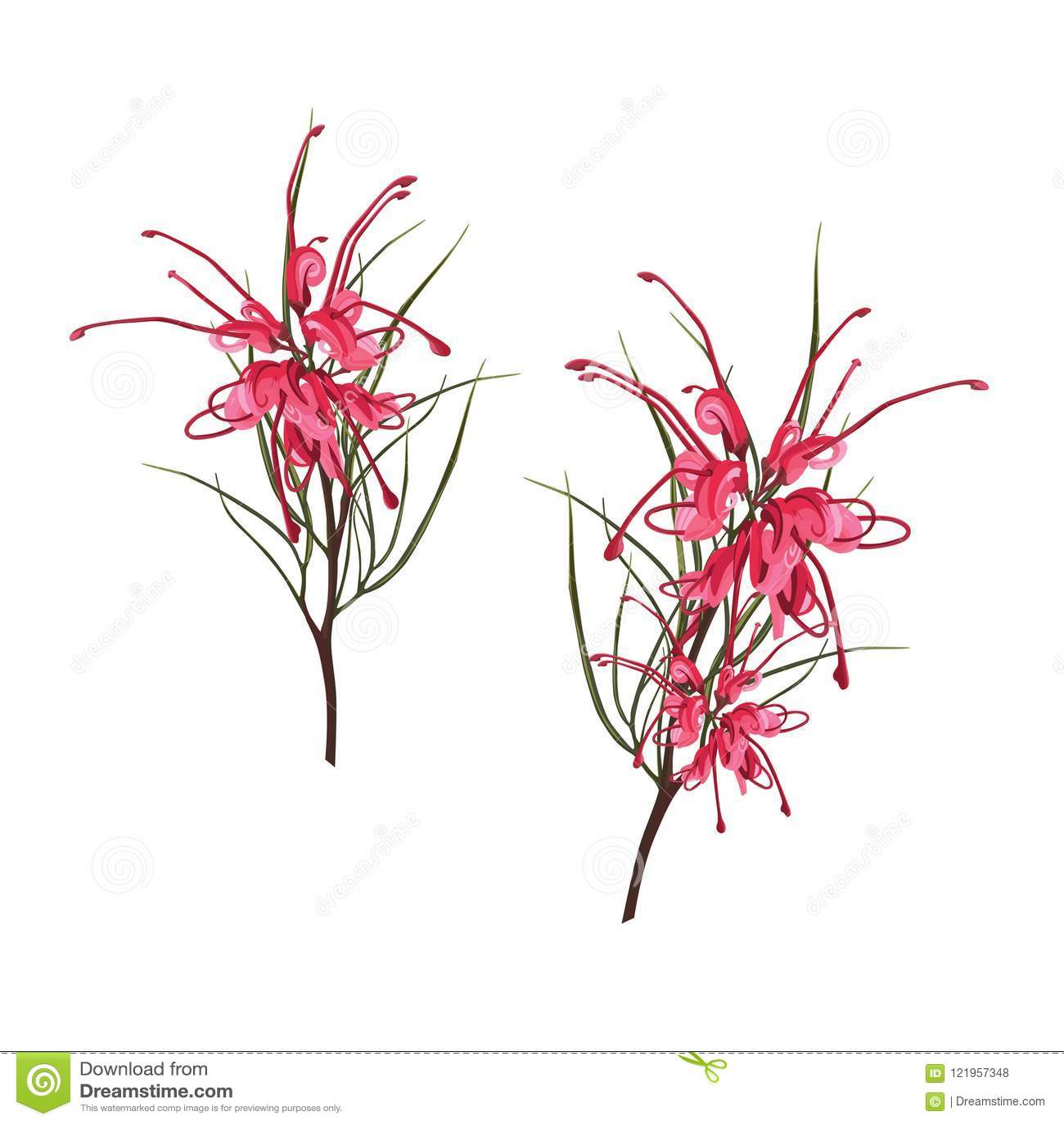 Inheemse Zuidafrikaanse Bloemen - exotische tropische rode Protea met groene die bladeren op witte achtergrond worden geïsoleerd