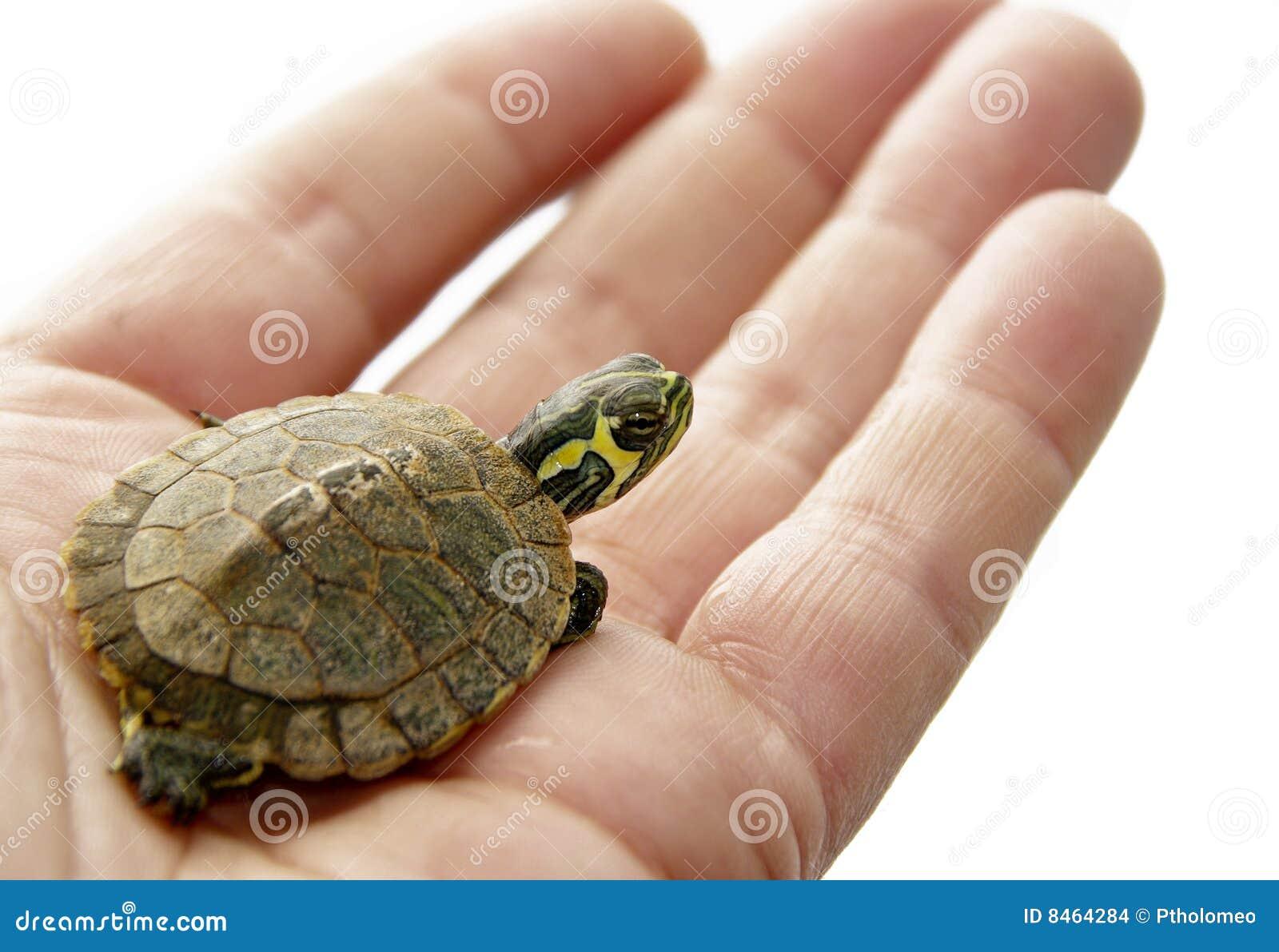 Inhemsk sköldpadda