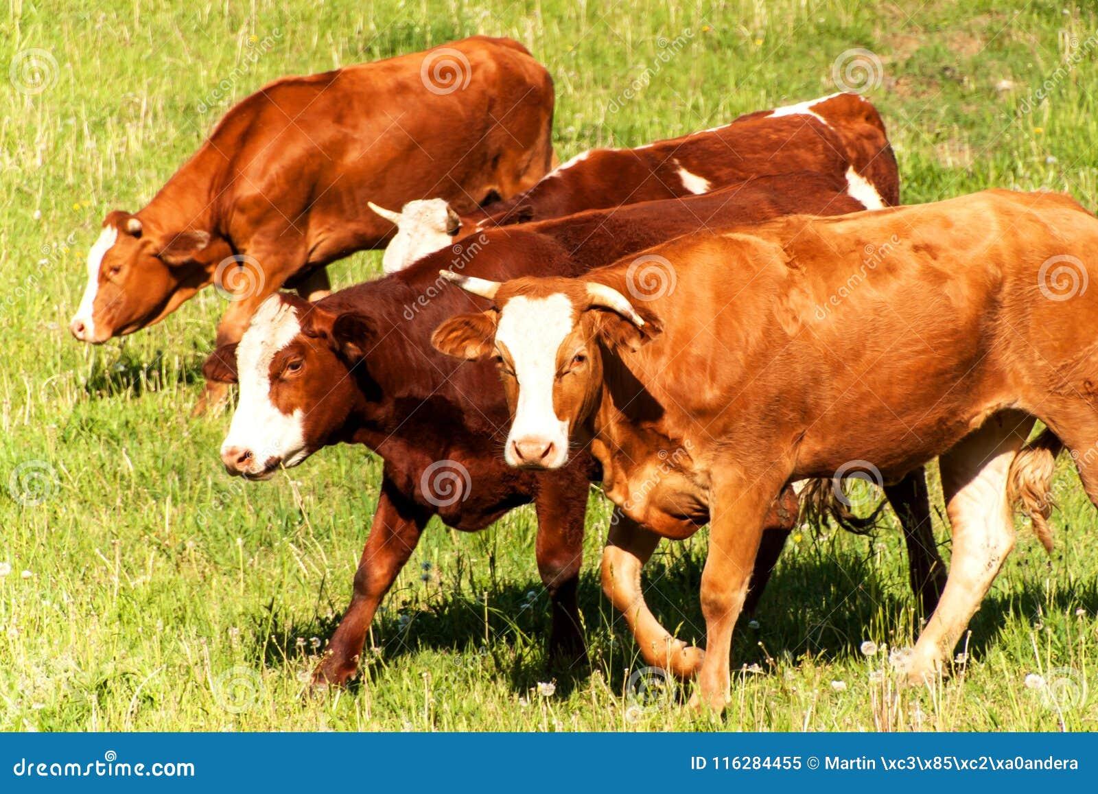 Inhemskt nötkreatur betar på Föda upp kor och tjurar Liv på lantgården