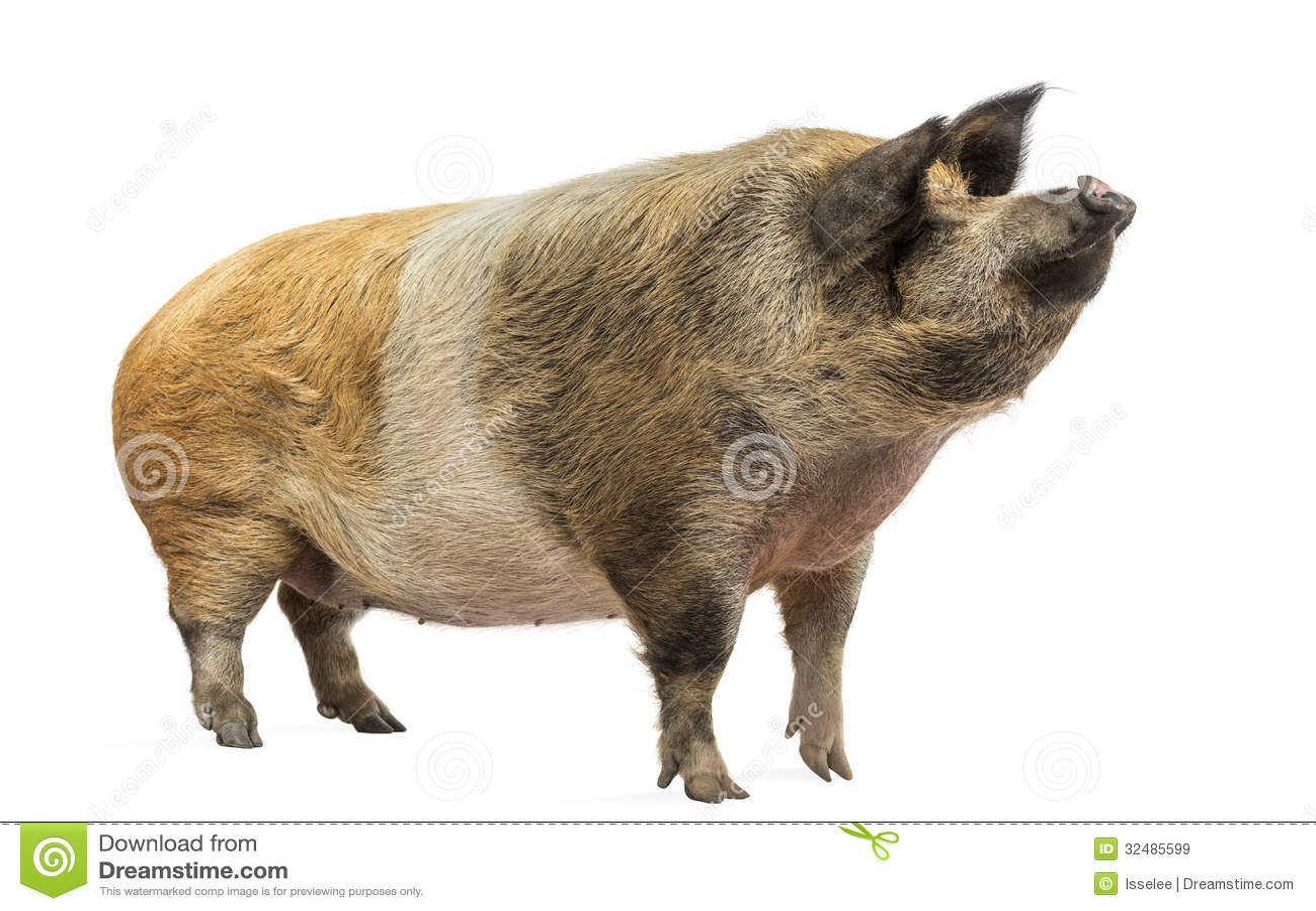 Inhemskt svin som står och ser upp, isolerat
