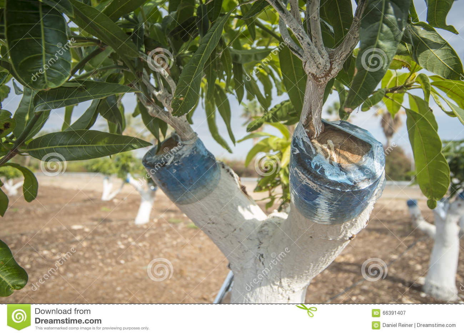 Injerto del árbol de mango
