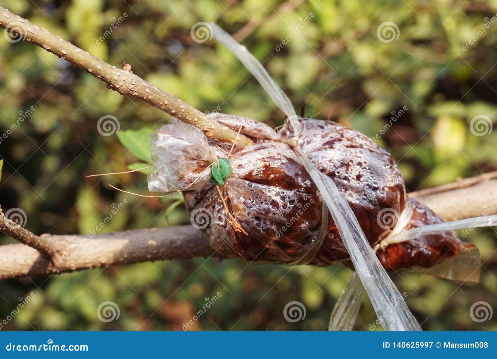 Injerto en rama de árbol en jardín