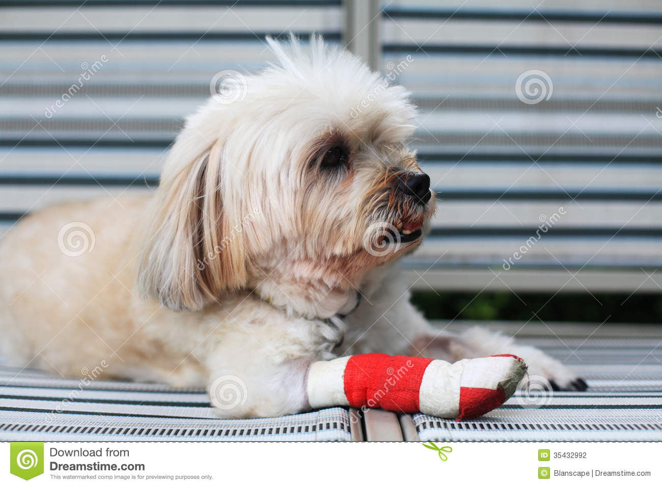 Injured Shih Tzu leg