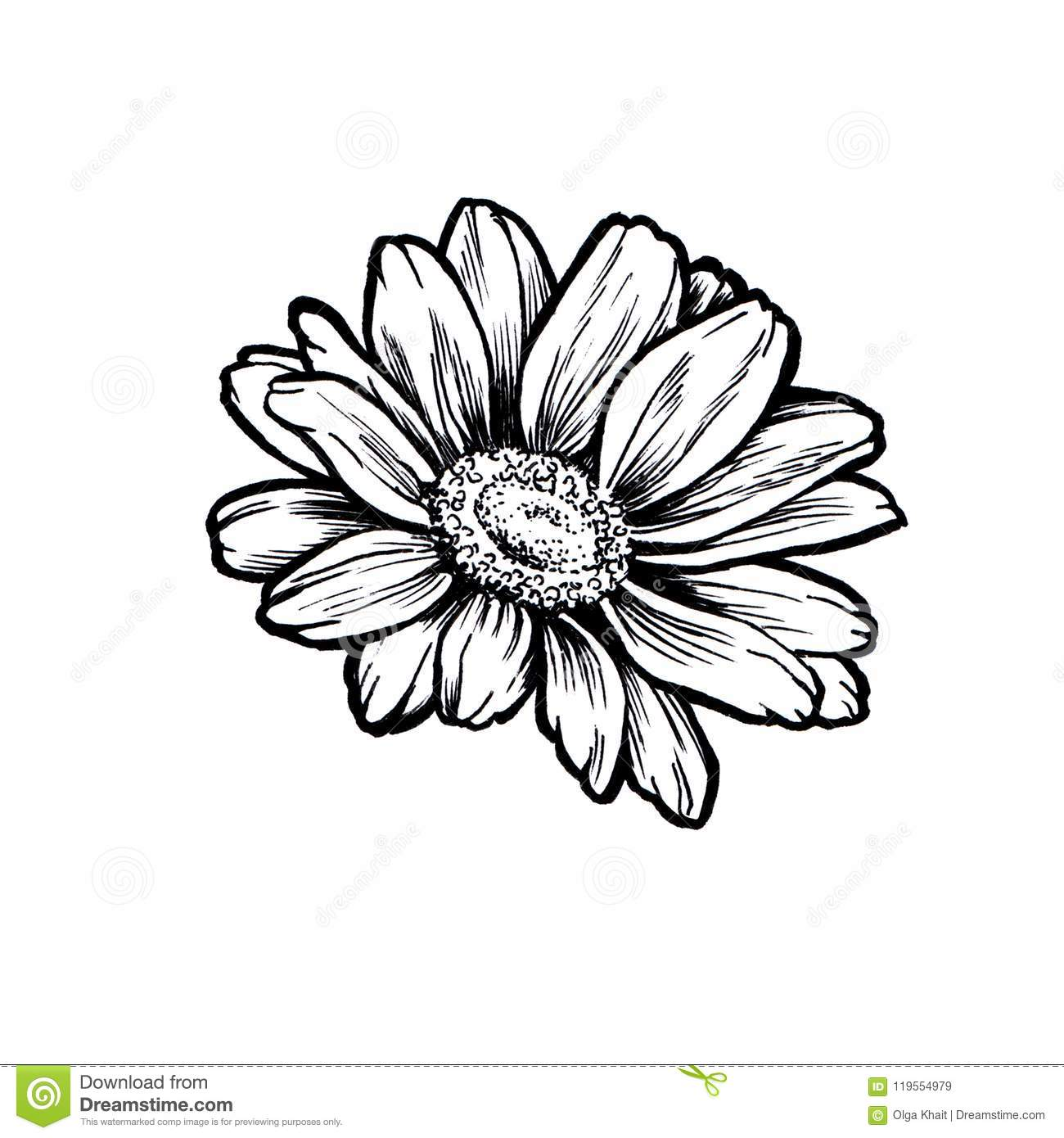 Ink Daisy Flower Line Graphic Sketch Stock Illustration