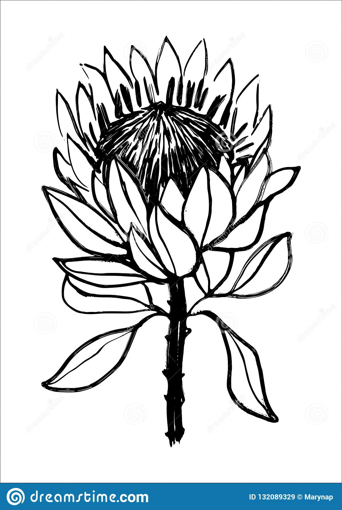 Ink Hand Drawn Protea Flower Illustration Black And White Graphics