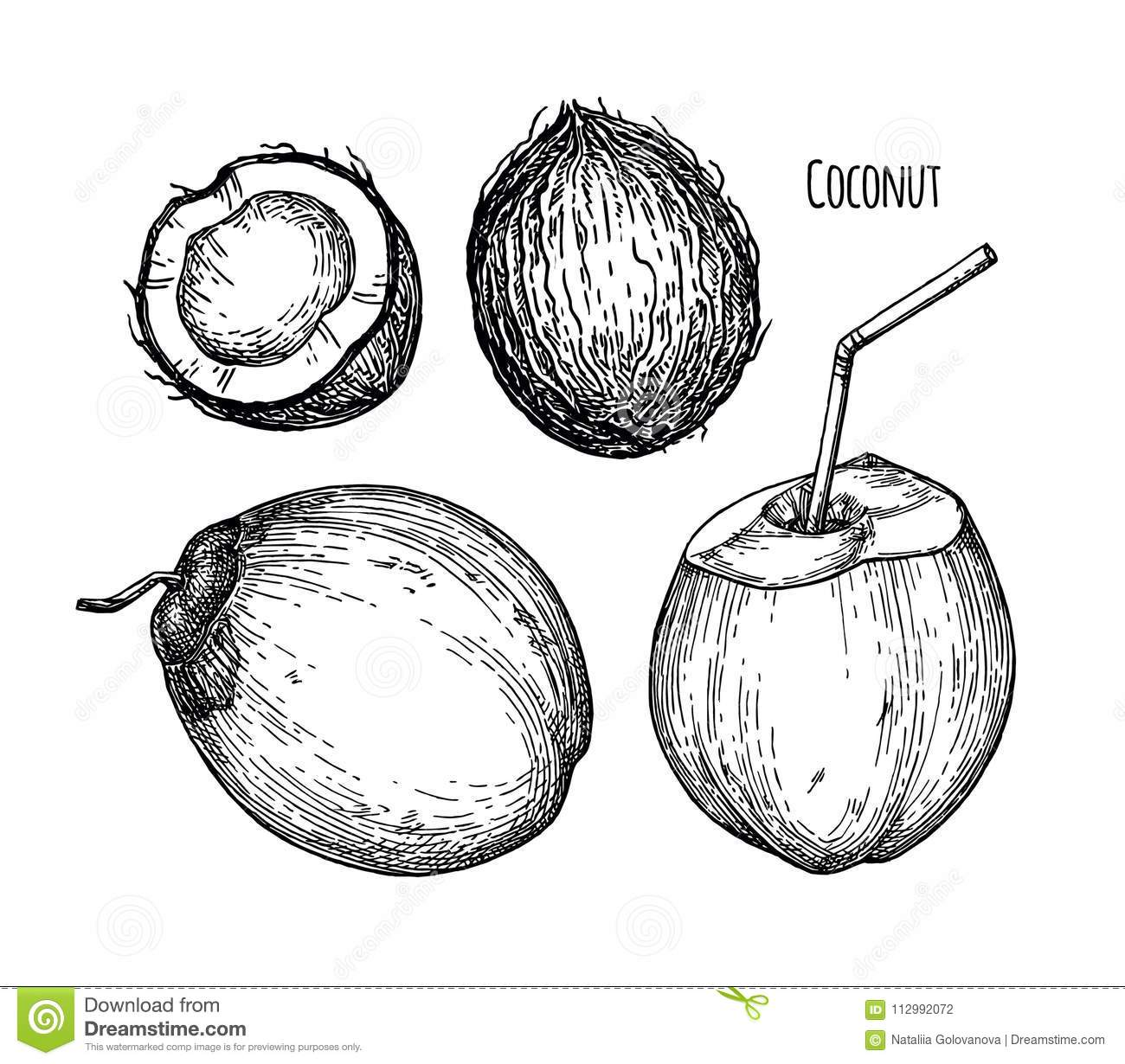 Ink sketch of young green coconuts.