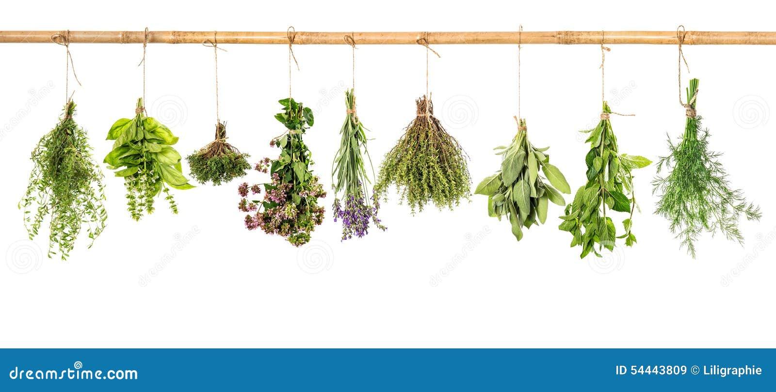 Inkasowi świezi ziele Basil, mędrzec, koper, macierzanka, mennica, laven