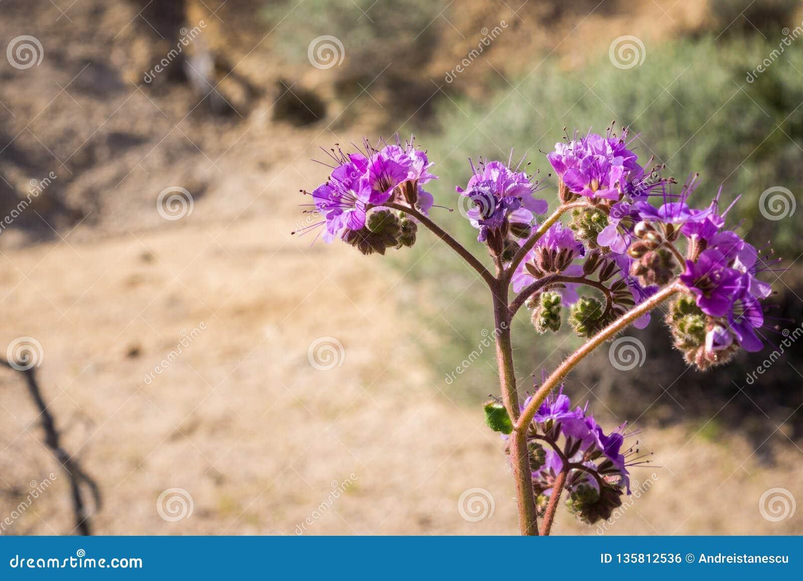 Inkeping-blad schorpioen-onkruid Phacelia-crenulata die in Joshua Tree National Park, Californië bloeien