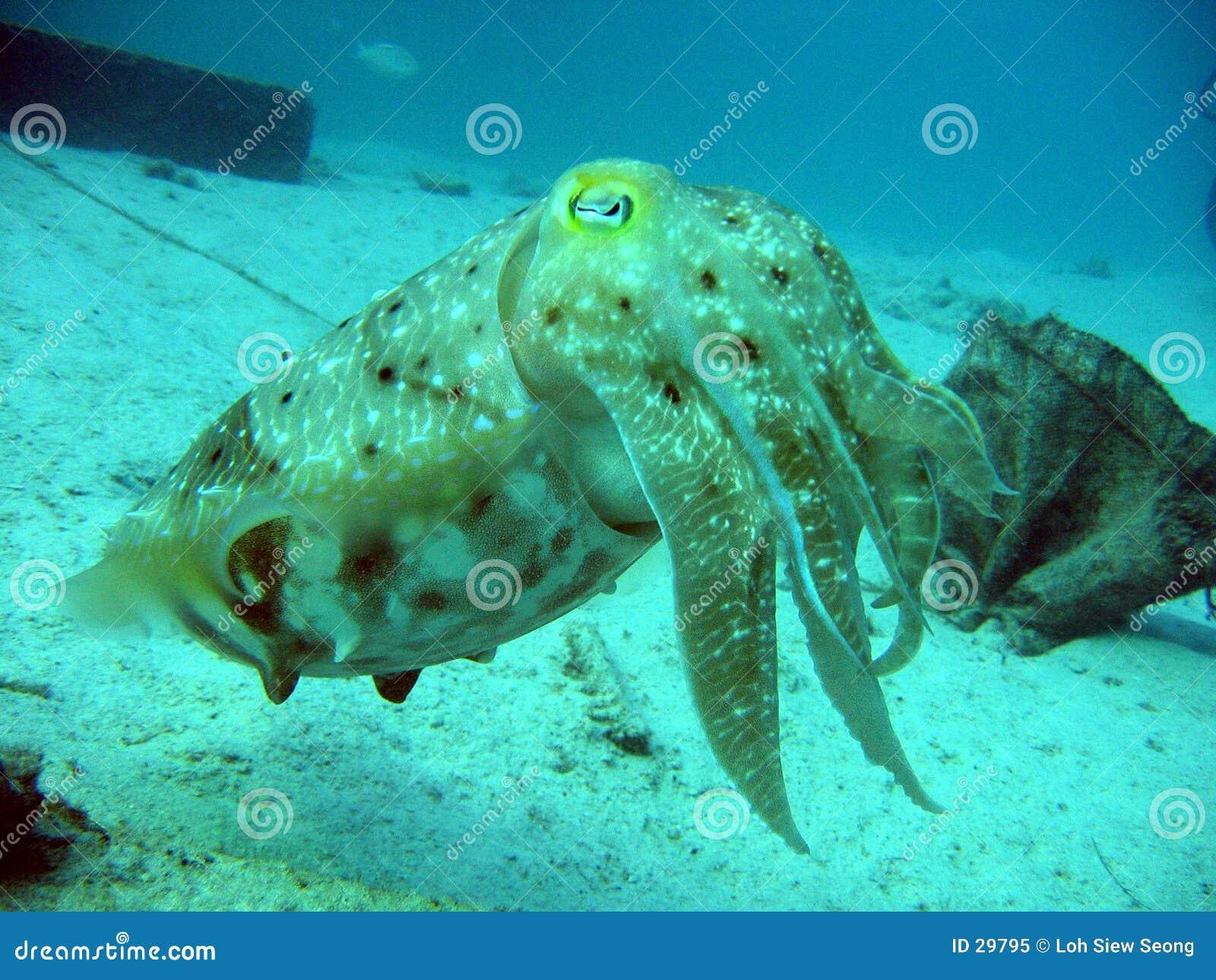 Inktvissen