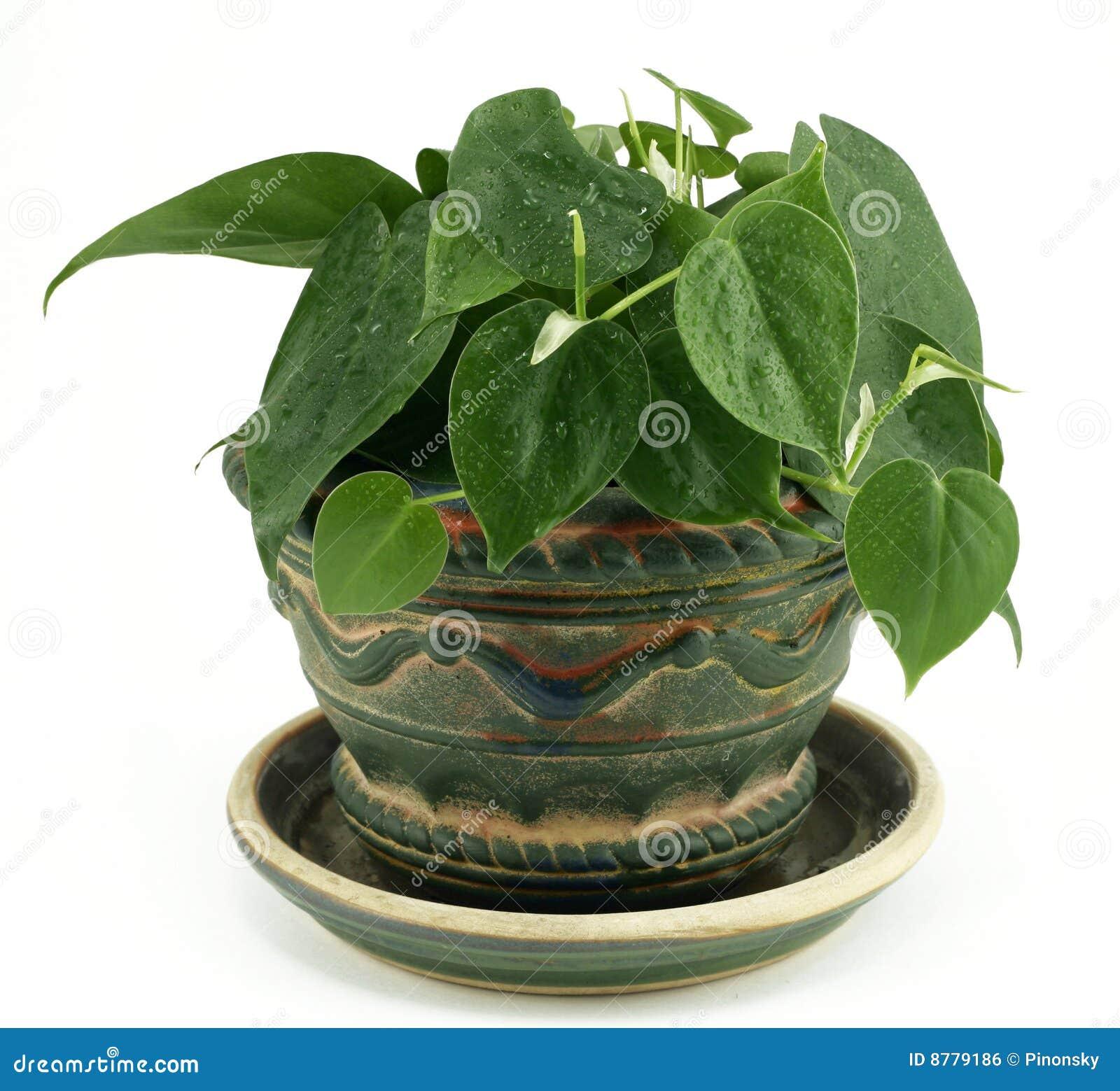 Inlagd white för houseplantphilodendron