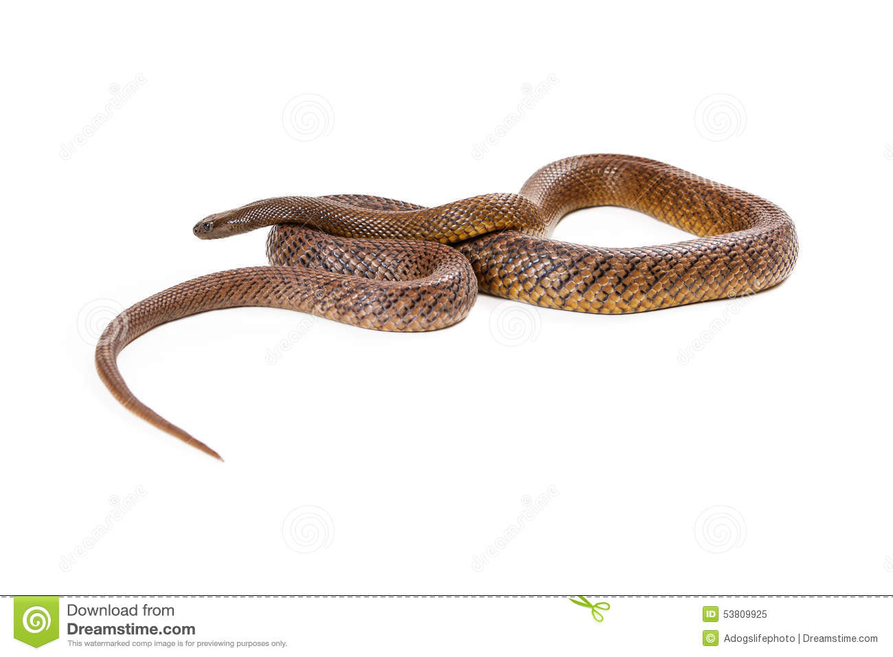 Inland taipan snake coiled up stock photo image 53809925 for Take me fishing org