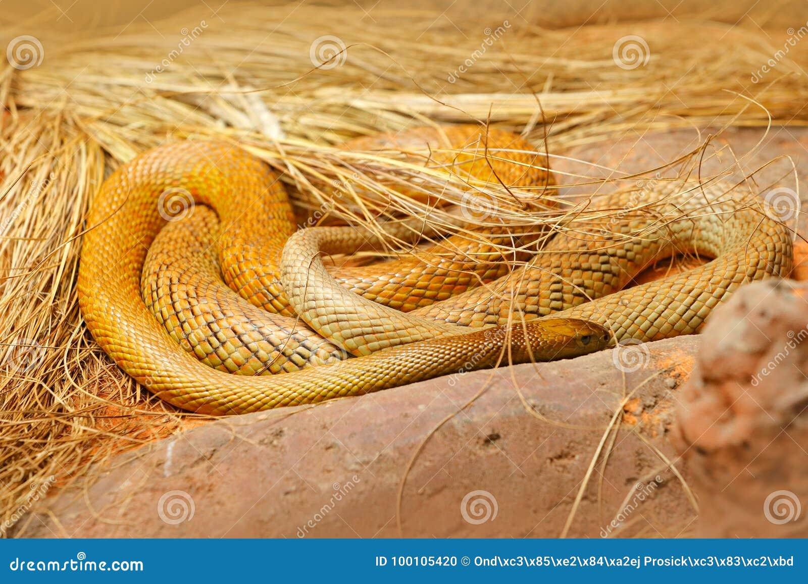 Inlands- taipan, Oxyuranusmicrolepidotus, Australien, mest giftig orm Giftorm i gräset Faradjur från Australien