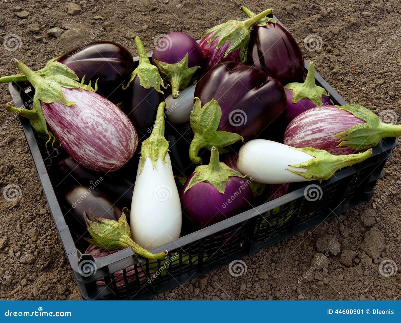 Inlandse aubergines