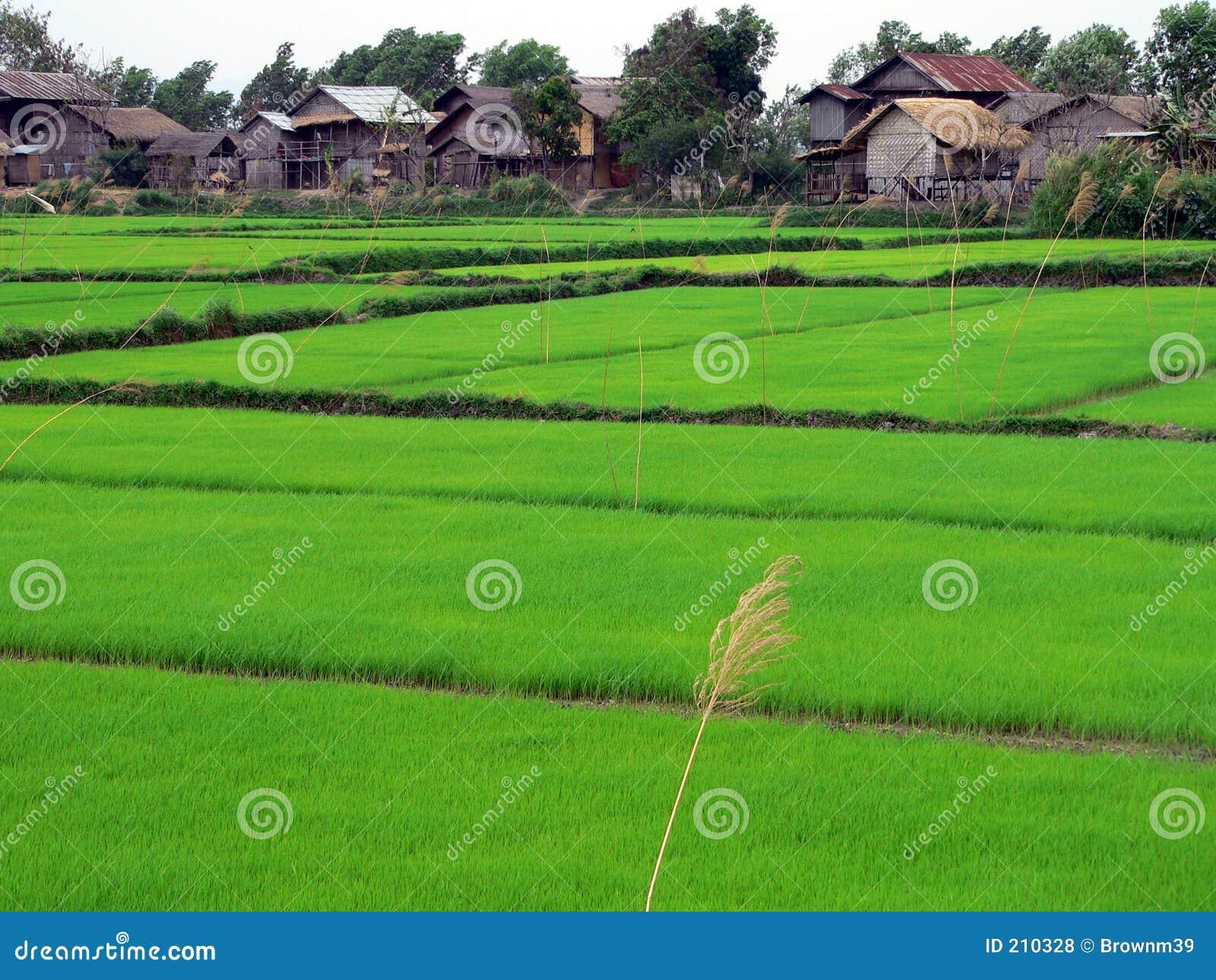 Inle terenowym z dokładnością jeziorni ryżu