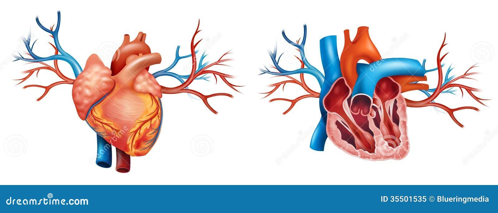Großzügig Anatomie Des Herzens Und Der Blutgefäße Bilder ...