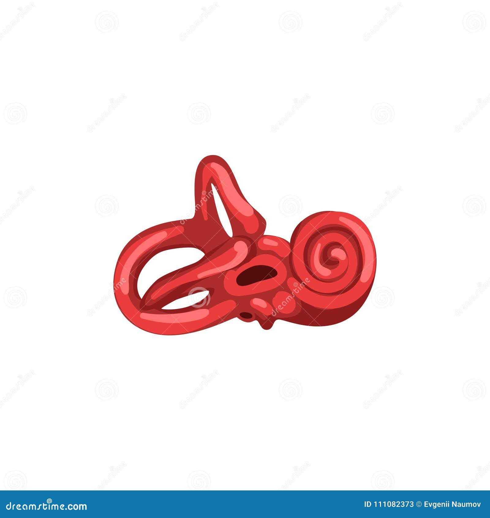 Inner Ear, Human Internal Organ Anatomy Vector Illustration On A ...