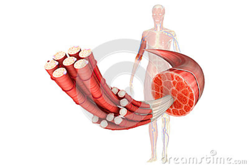 Inner Parts Of Muscle Tissue Stock Illustration Illustration Of