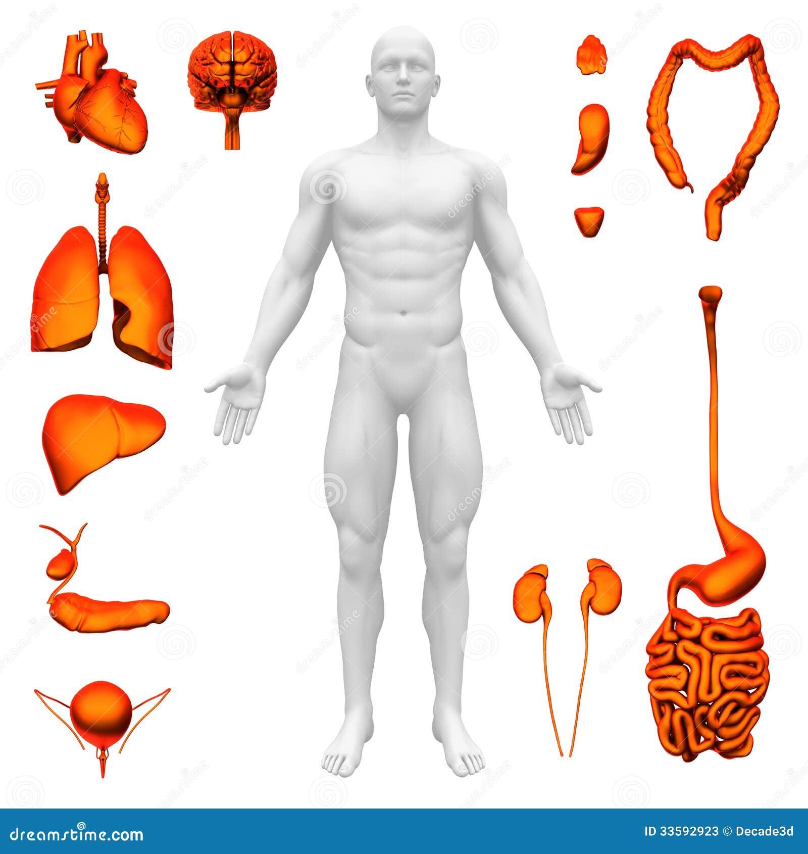 Innere Organe - Menschliche Anatomie Stock Abbildung - Illustration ...