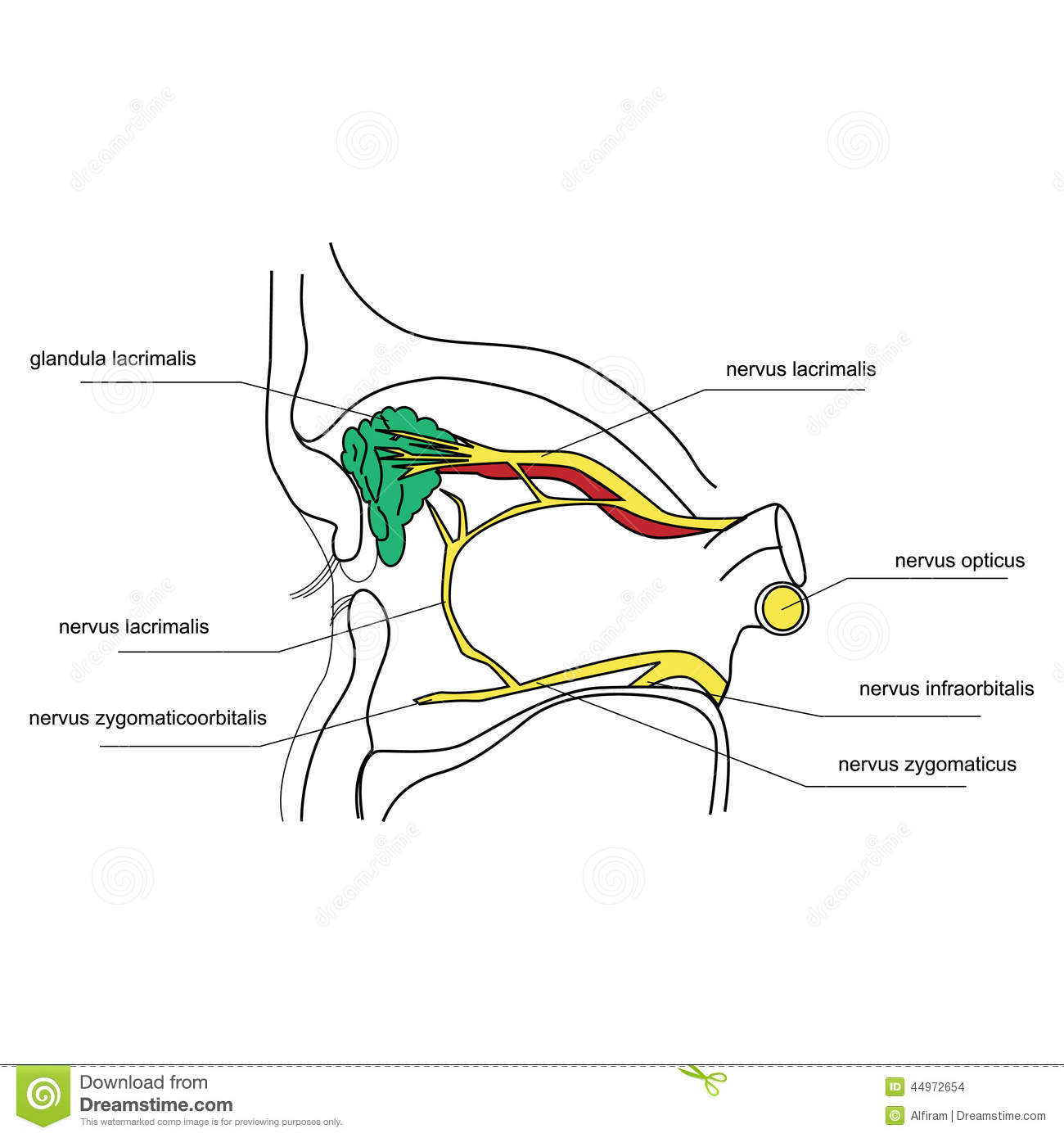 Innervation Of The Lacrimal Gland Stock Vector - Image: 44972654