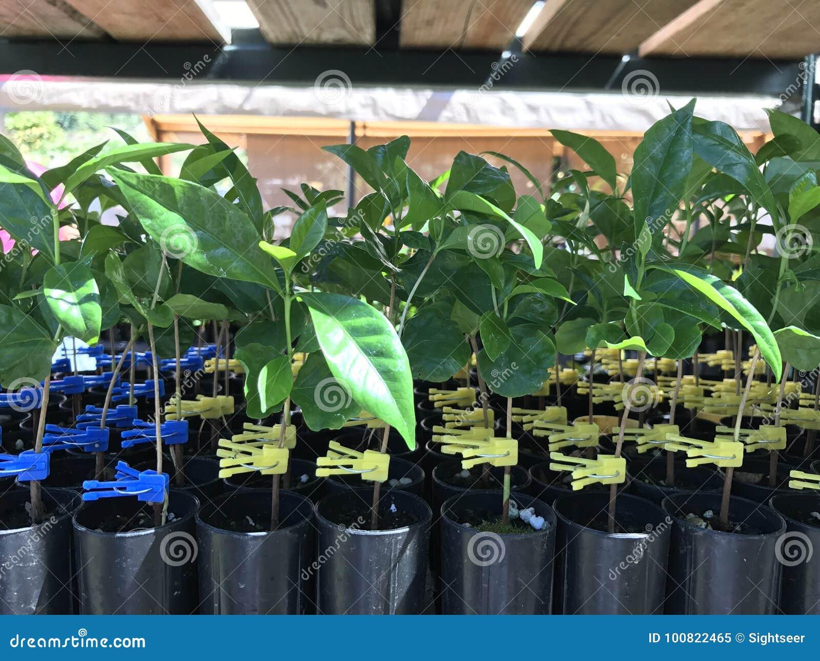 Innesti della pianta del caffè