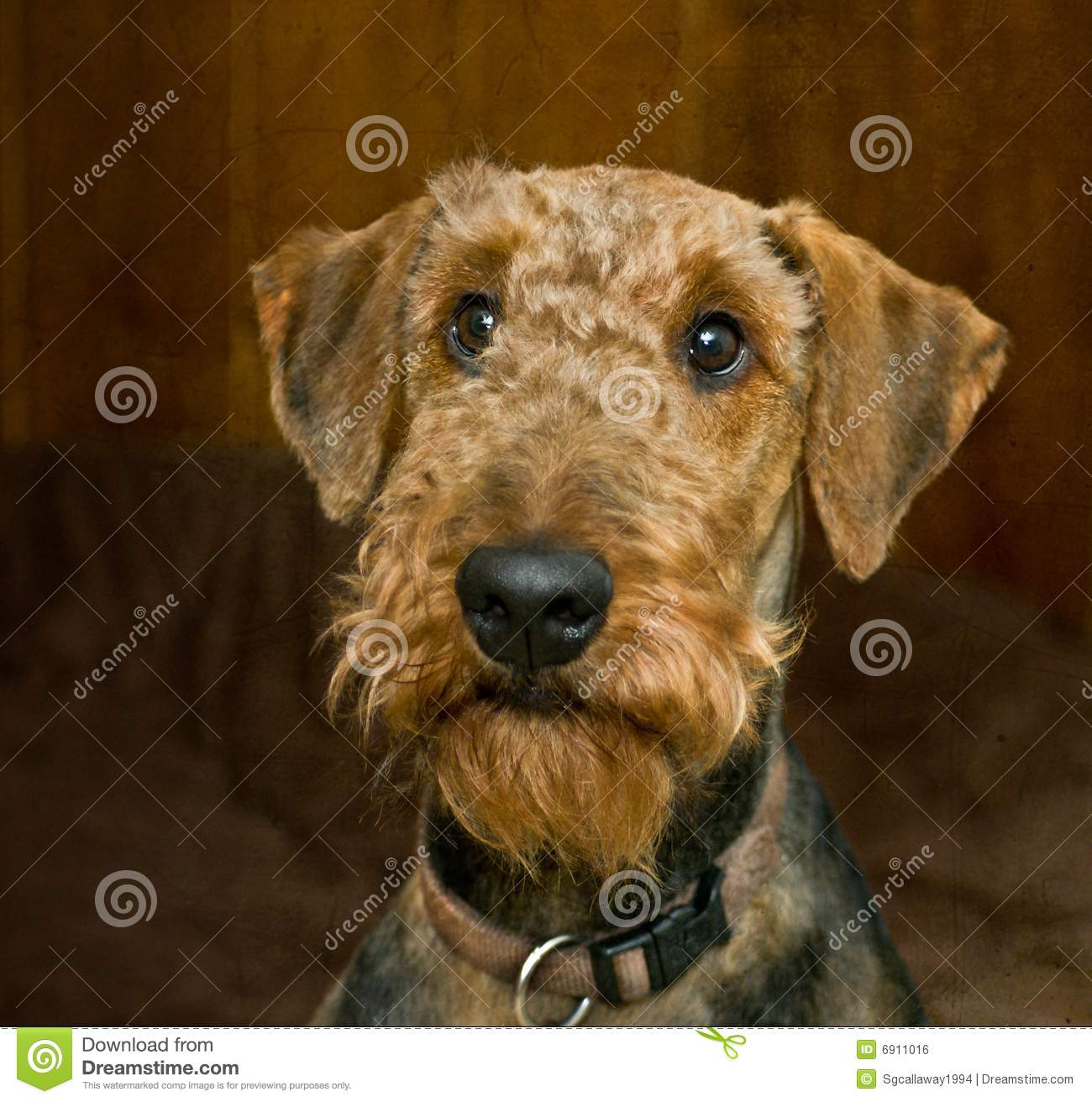 Innocent looking airedale terrier dog royalty free stock image image