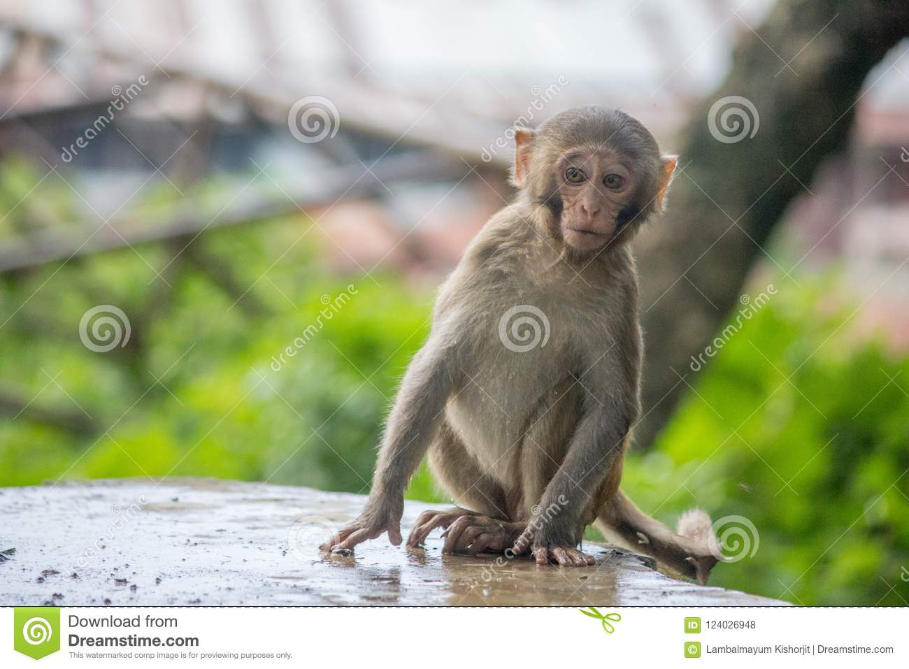 Portrait Of A Monkey With Broken Lip Innocent And Scary Mammals Wildlife Pet Drinking Water Climbing On Tree