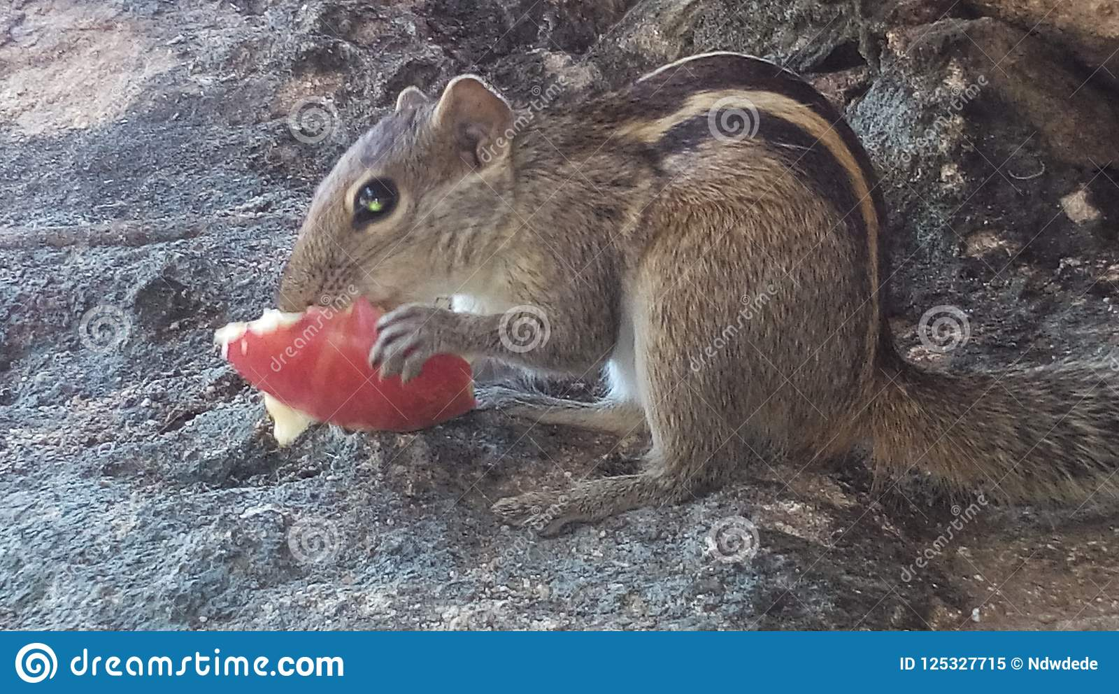 Innocent squirrel eating an apple