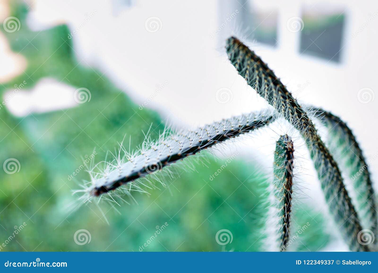 Inomhus växt grönt spiny för kaktus