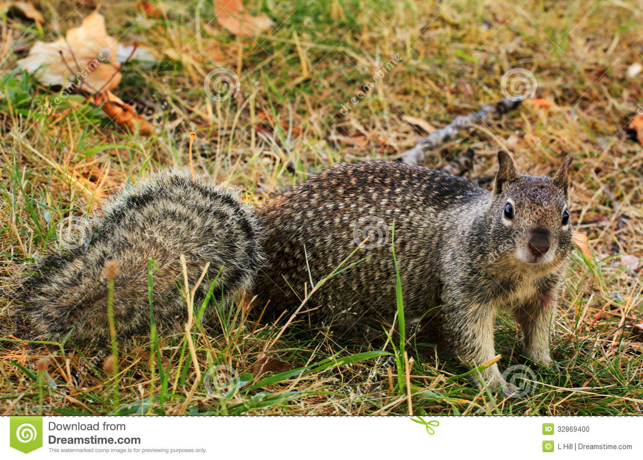inquisitive spotted squirrel stock photo image 32869400 Hyena Tattoo laughing hyena clipart