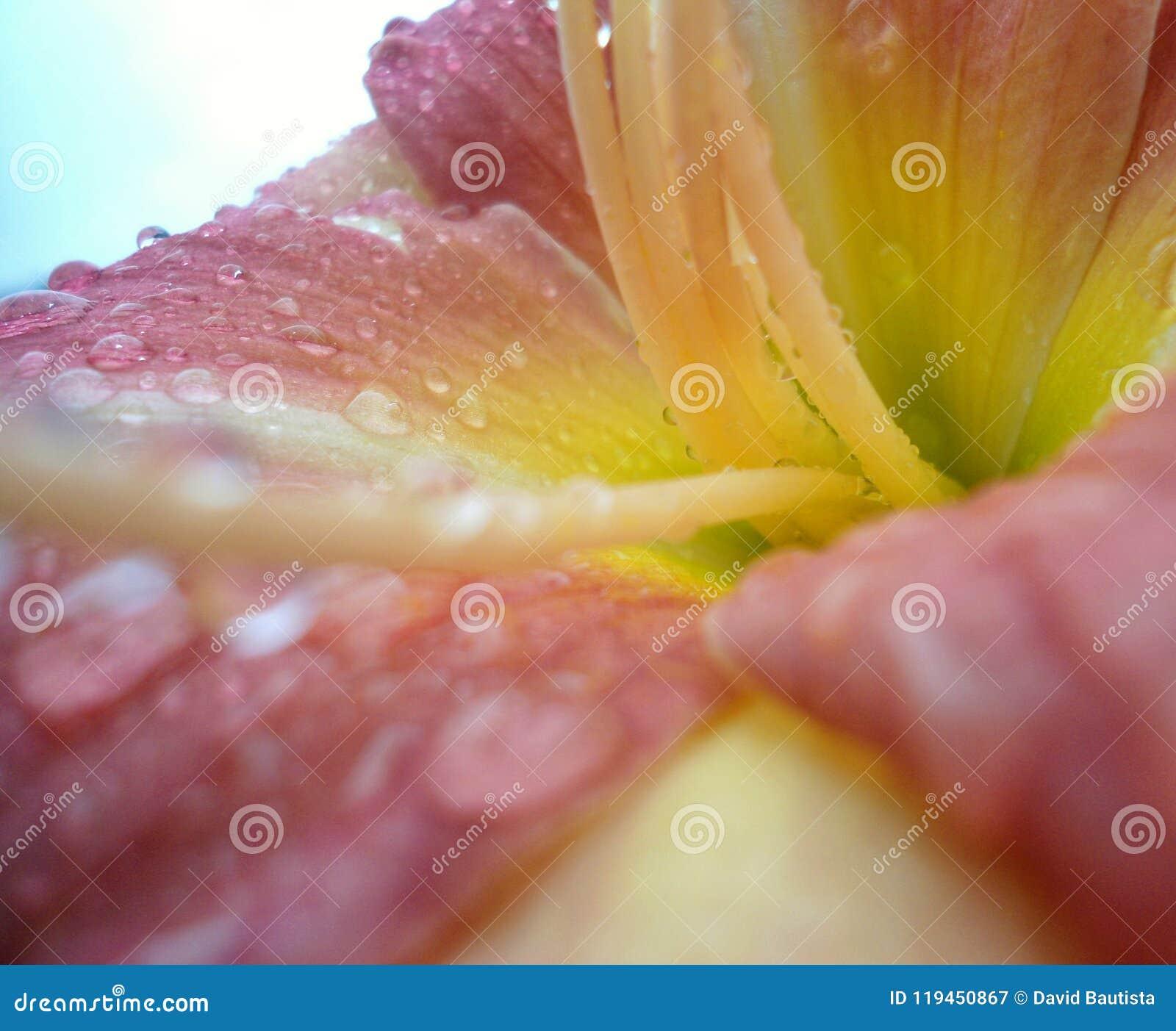 Inre sikt av en rosa blomma med den gula mitten, med långa trådlika stamens och många droppar av vatten på kronbladen