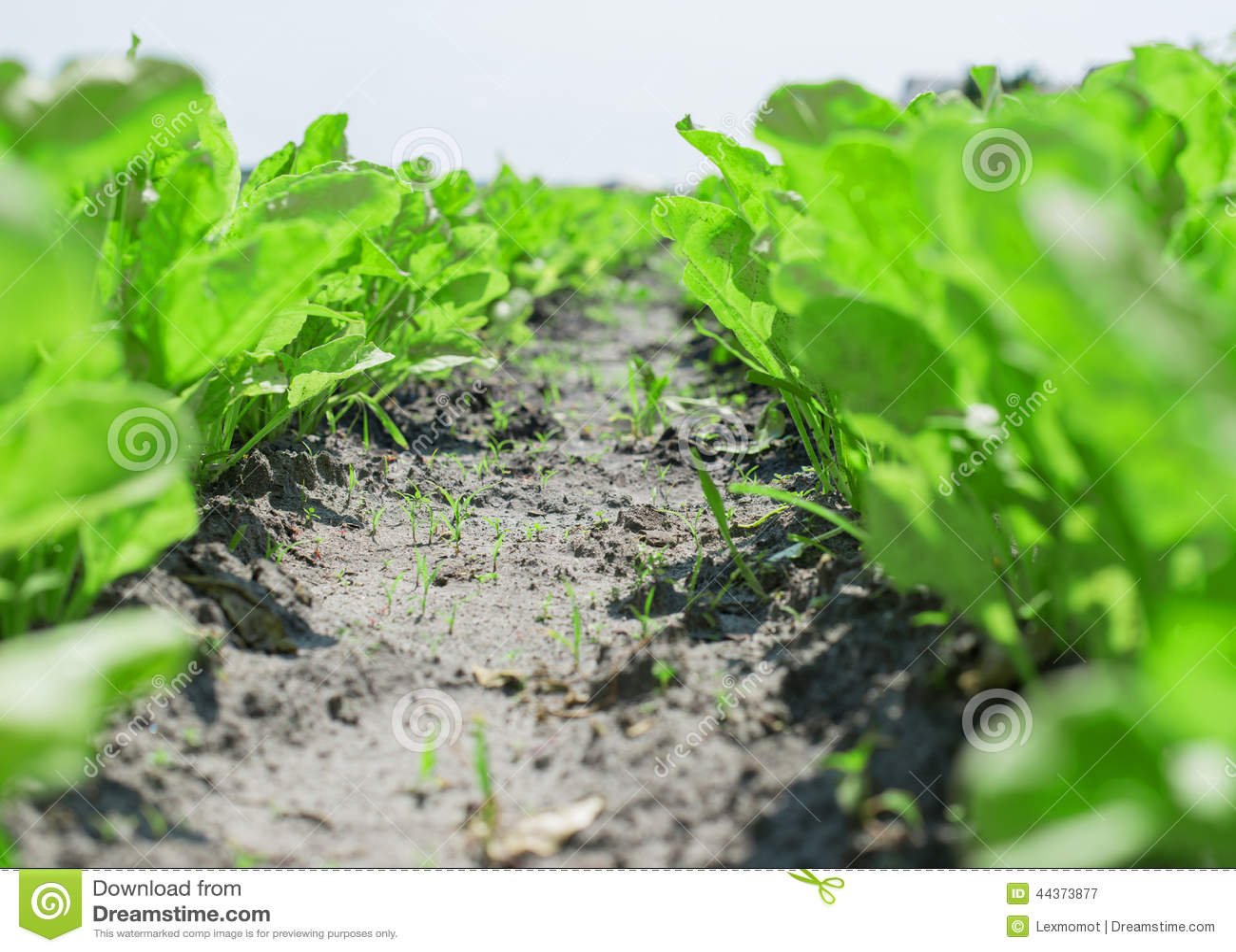Insalata verde isolata